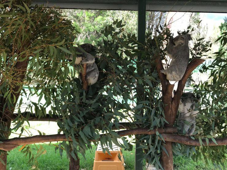 kids facts about koalas
