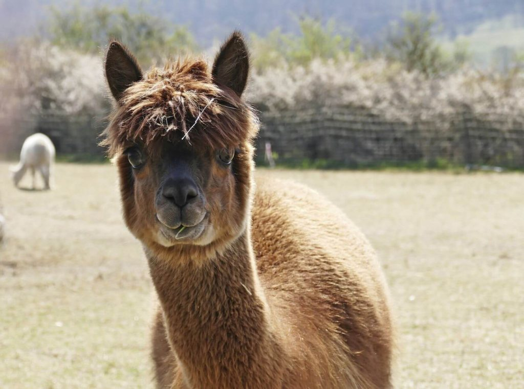 Alpaca Vs Llama -What's The Difference Between A Llama And An Alpaca