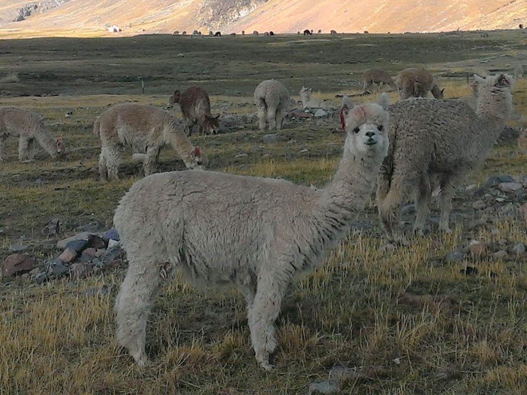 Alpaca Facts For Kids