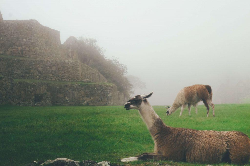 Fun Alpaca And Llama Facts For Kids
