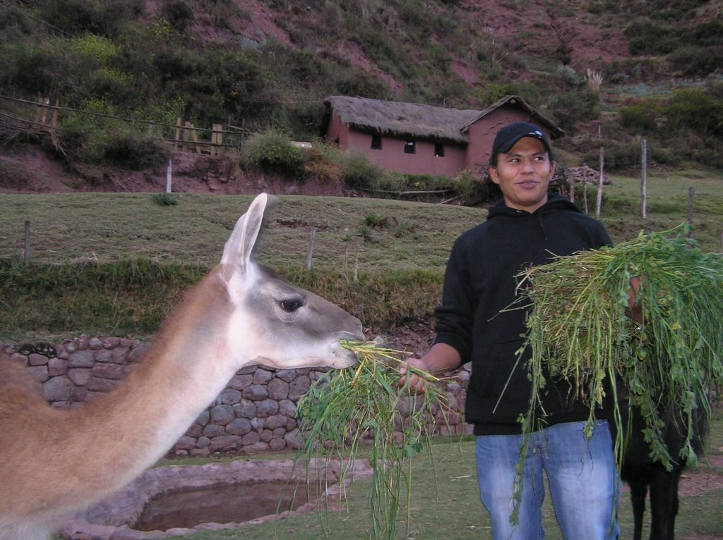 fun facts about llamas