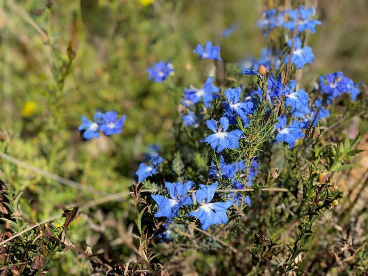 wildflowers perth australia