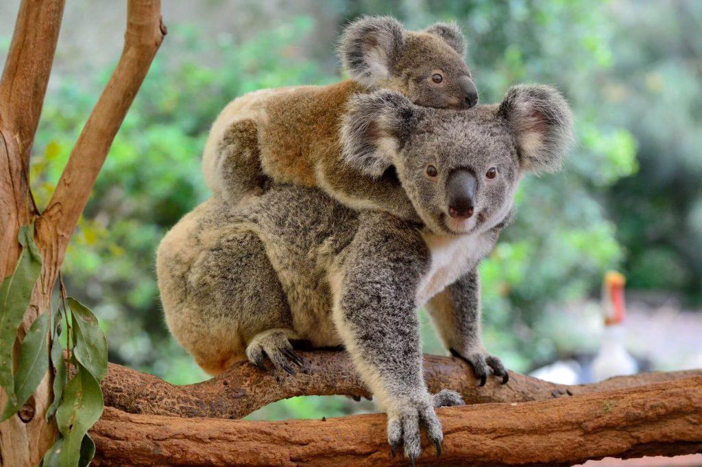 Fun Koala Facts For Kids