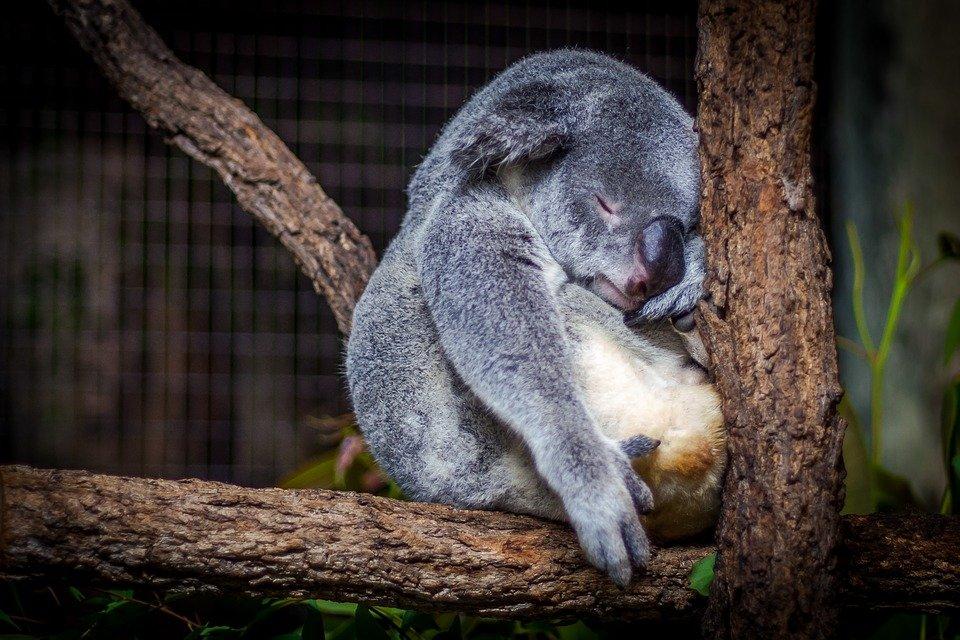 kids koala facts