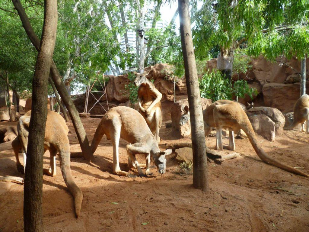 If I am Visiting Australia, Where Can I see Kangaroos