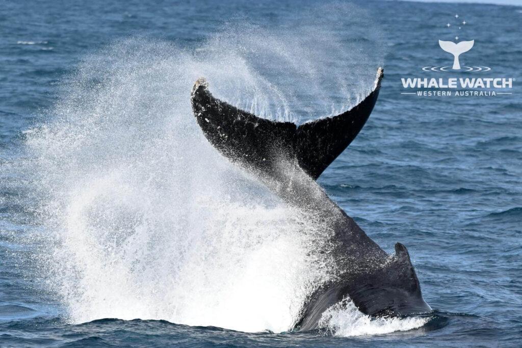 Whale Watching Margaret River & Augusta